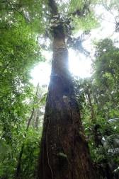 Panama Rainforest Tree