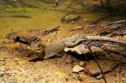 Caimán de anteojos, cachirre, babilla, blanco, guagipal o baba (Caiman crocodilus)