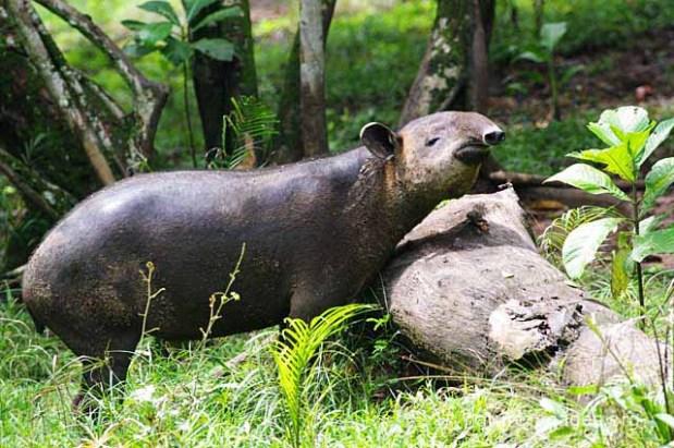 Tapir centroamericano