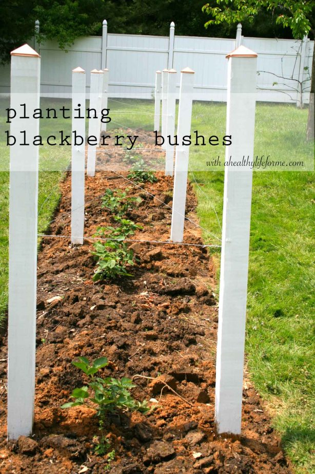 Planting Blackberry Bushes part 2 with ahealthylifeforme.com