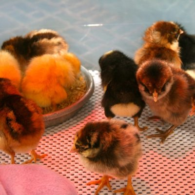 Getting Baby Chicks