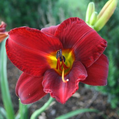 Kindness Caused me to Fall in Love with the 'Daylily'