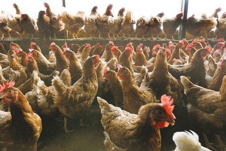 Cage Free Hens at Factory