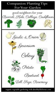 Companion Planting Broccoli Kale Cabbage Cauliflower