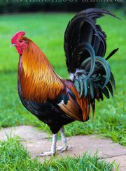 Phoenix Rooster Fun Facts About Chickens