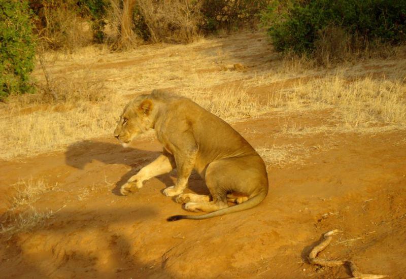 lioness-masai-mara-safari