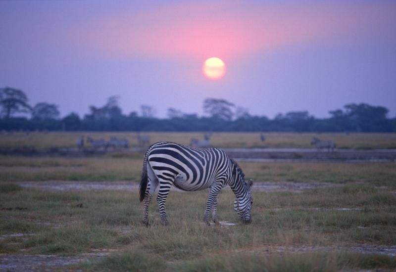 sunset-zebra-masai-mara