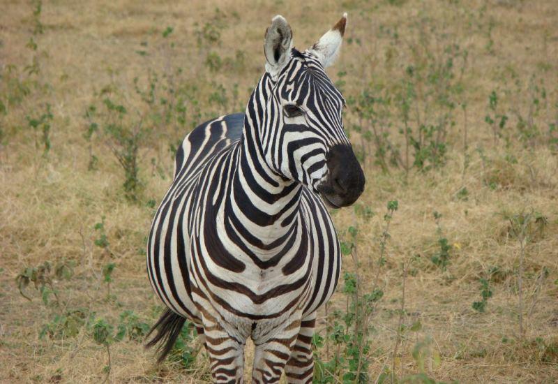 zebra-kenya-safari