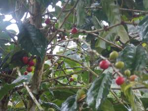 """Blue Mountain Coffee"" Beans on the tree."