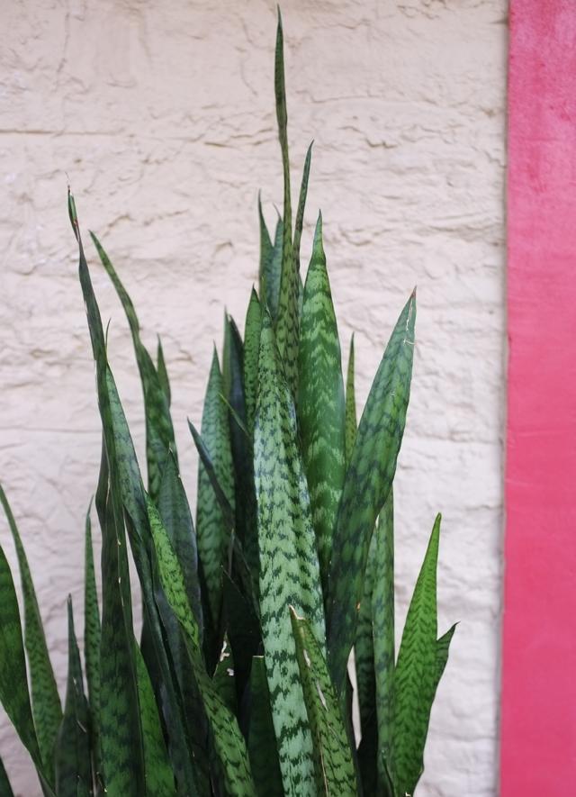 Snakeplant