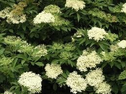 Elderflower in Bloom
