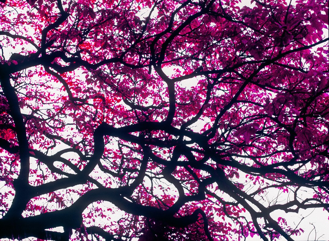 Fuchsia canopy - Kodak AEROCHROME III 1443 shot at EI200 Color infrared aerial surveillance film in 120 format shot as 6x4.5 Overexposed one stop with orange filter