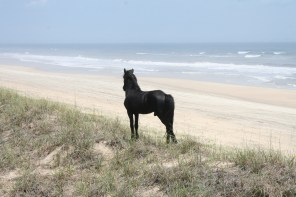 Horse standing on dunes looking out at the sea in Outer Banks, NC