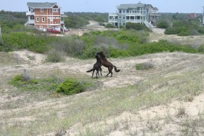 Two horses at Outer Banks