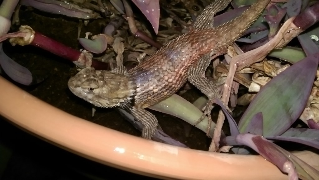Spiny Lizard in our Wandering Jew