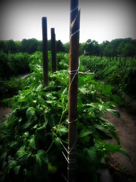 tomato vines