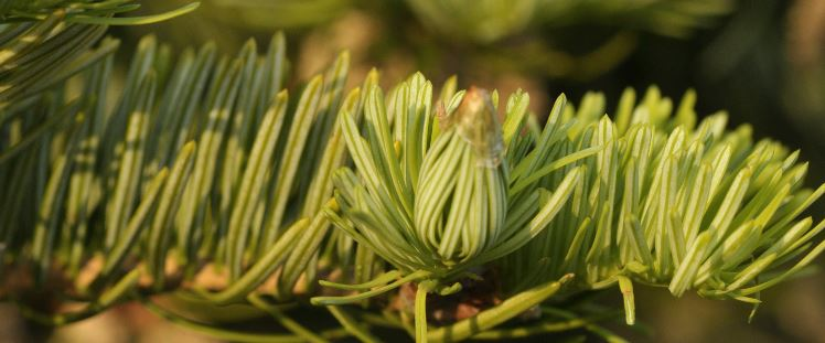White-Fir-Essential-Oil