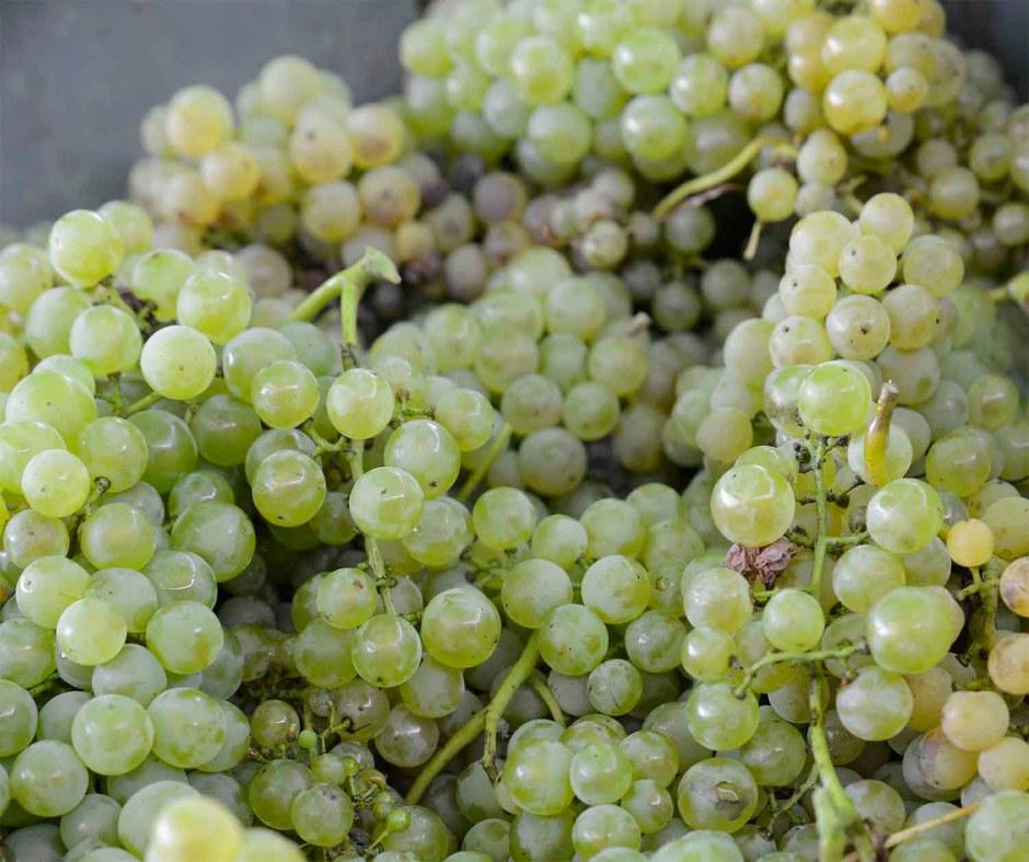 cacho-de-uvas-vinho-verde