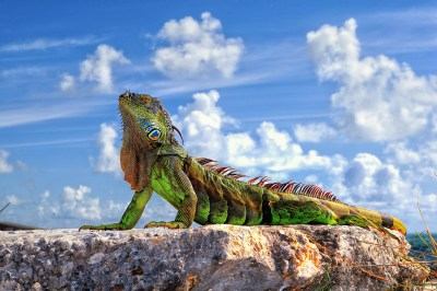 Iguana HD Wallpapers & images (High Definition - All HD Wallpapers