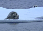 polar_bear_stalking_seal