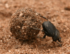 Dung Beetle Facts
