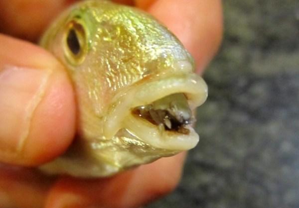 The Tongue-Eating Sea Louse