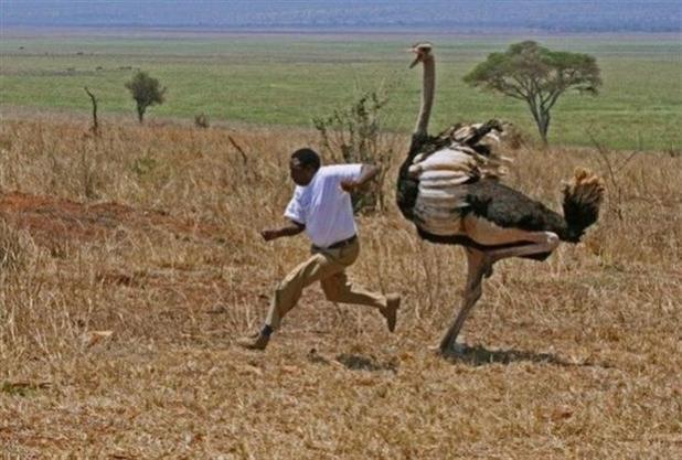Devekuşu - Dünyadaki büyük kuş