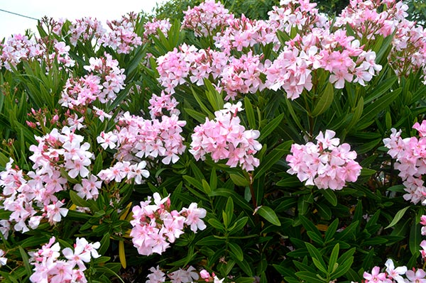 arbusto-rosa
