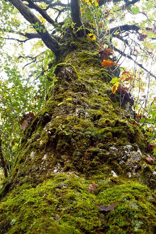 musgo-tronco