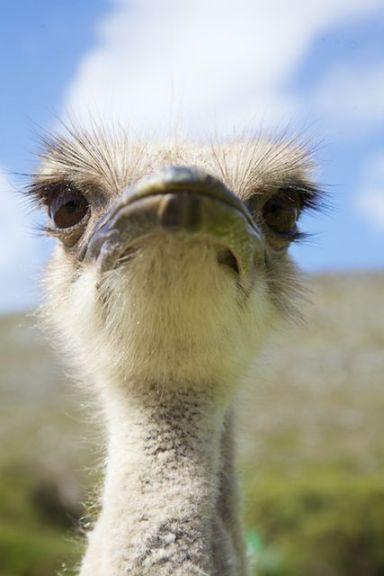 Ostrich  (c) Allyson Scott