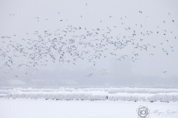 Seagulls flying over frozen breakwater on Lake Ontario, Toronto