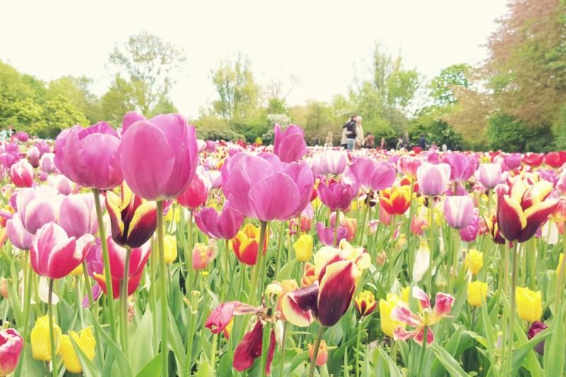 Tulips Vondelpark Amsterdam