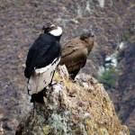 colca-canyon-condors-peru-trip