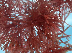 Irish Moss: Carrageen & Edible Seaweeds for Vegans