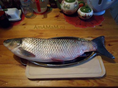Как выглядит белый амур - большая речная рыба семейства карповых