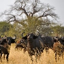 African Buffalo – Tarangire National Park, Tanzania – Daily Photo