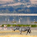 A Zebra and Flamingos – Ngorongoro Crater, Tanzania – Daily Photo