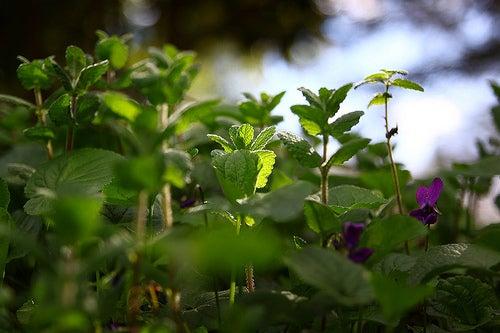 menthe-james-jardine