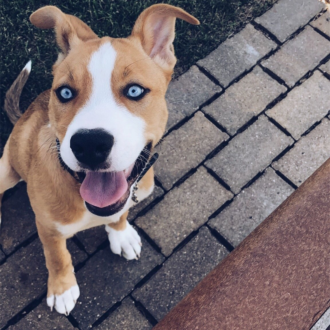 Fascinating Things You Need To Know About Pitbull Husky Mix Pitbull Boxer Mix Important Facts About This Pitbull Boxer Pit Mix Puppies S Boxer Pit Mix Names bark post Boxer Pit Mix