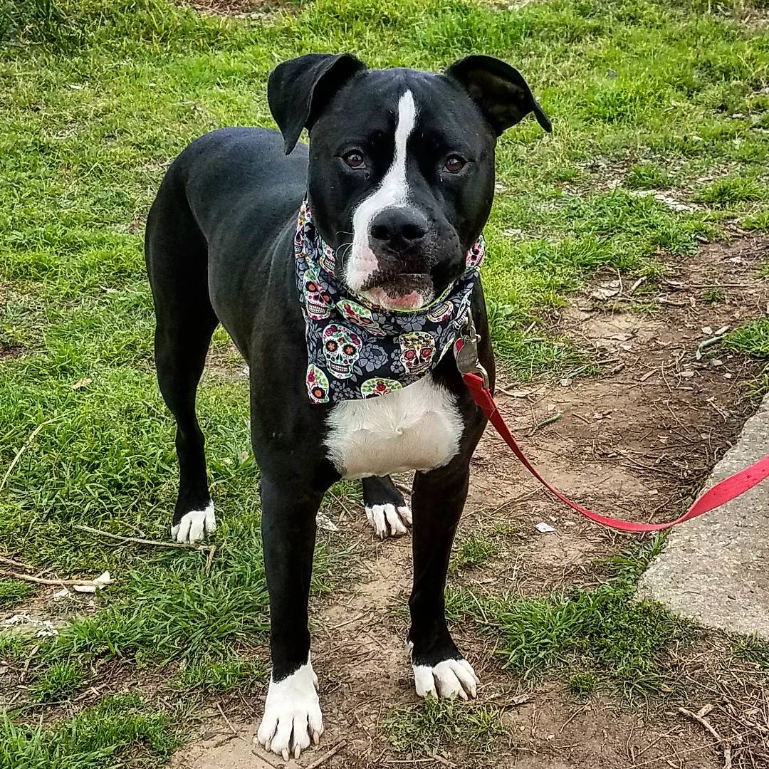 Rousing Pitbull Dane Mix Pitbull Dane Mix Loyal Dog Breed That Good As A Family Dog How To Train A Pitbull Basic Commands How To Train A Pitbull Puppy Not To Bite bark post How To Train A Pitbull