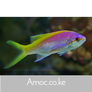 Anthias Fish