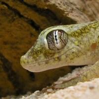 Dwarf Sand Geckos (Stenodactylus spp.)