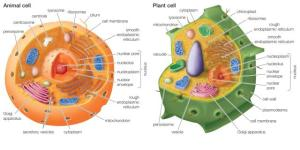 Animal cell vs. Plant cell.