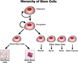 pluripotentstemcells
