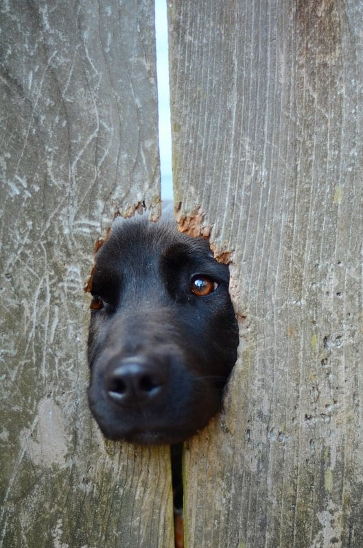 A Pet Dog Poking His Nose Through A Hole In A Fence