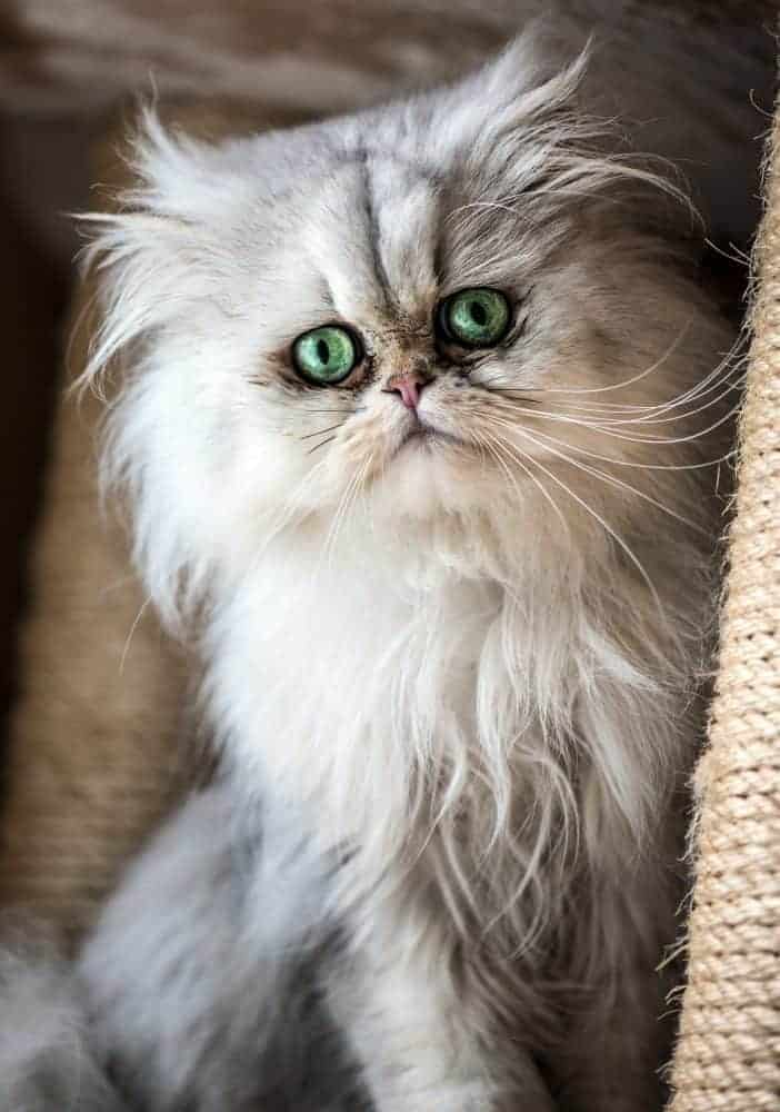 Cat hairballs can be a big problem with longhair cats.