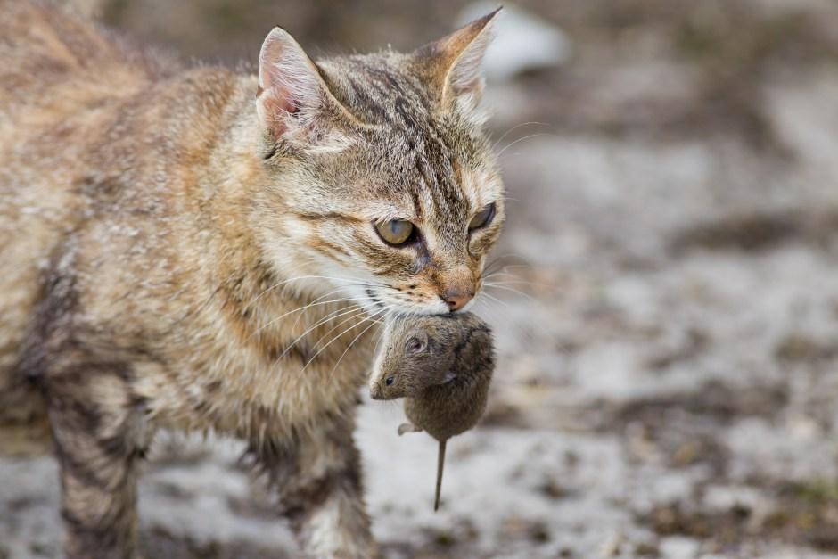 cat hunt