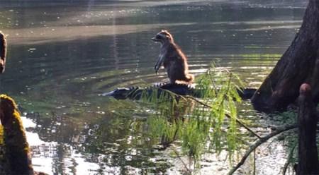Raccoon-Alligator