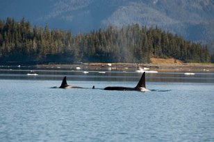 Heather Bay orca whales