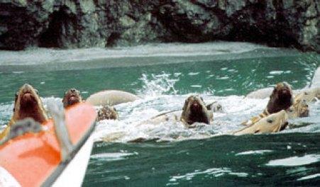 Kayaking with Stellar sea lions at Glacier Island